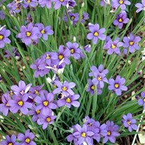Blue-Eyed Grass  'Lucerne'