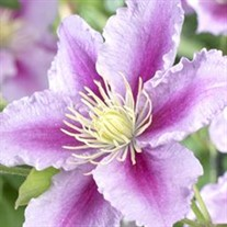 'Piilu' Little Duckling Clematis