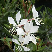 'Whirling Butterfies' Gaura
