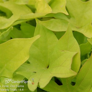 'Bright Ideas Lime'  Sweet Potato Vine