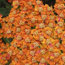 'Terracotta'  Yarrow