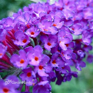 Buddleia 'Nanho Purple' Butterfly Bush