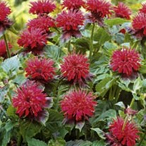 'Fireball'  Bee Balm