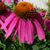 Pow Wow Wild Berry Coneflower