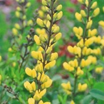 'Lemon Meringue'  False Indigo