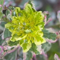 'First Blush'  Cushion Spurge