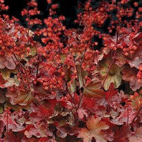 'Cherry Cola'  Coral Bells