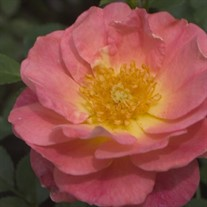 Oso Easy® Strawberry Crush Rose