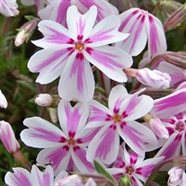 Creeping Phlox 'Candy Stripe'