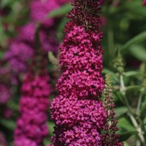 'Miss Molly'  Butterfly Bush