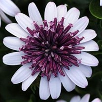 3D™ Berry White Sunscape Daisy