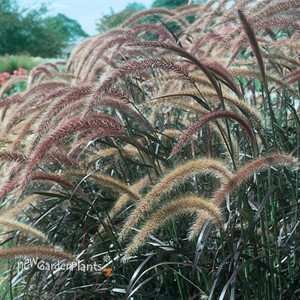 Purple Fountian Grass 'Rubrum'