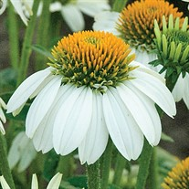 'Pow Wow White' Coneflower