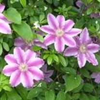 'Earthquake' Clematis Vine