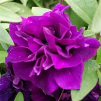 'Midnight Velvet' Petunia Blanket® Double