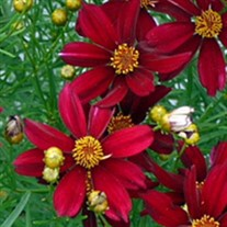 Coreopsis 'RED SATIN' Tickseed