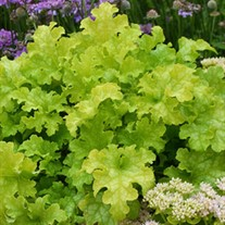 'Lime Ruffles™' Series Coral Bells