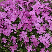 Creeping Phlox 'Emerald Pink'