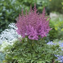 'Little Visions in Purple' Astilbe False Spirea
