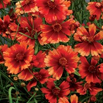 'Desert Coral' Hardy Jewel™ Series Tickseed