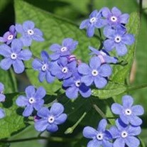 Brunnera Macrophylla Heartleaf Alkanet